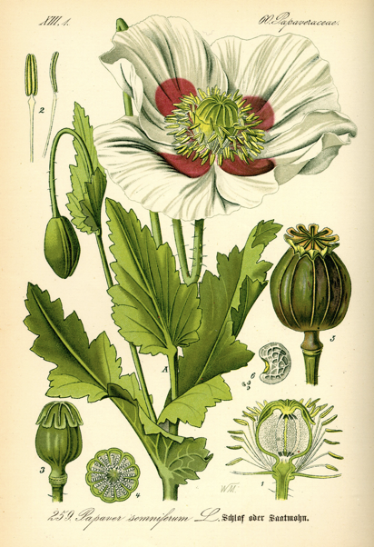 Illustration du Papaver somniferum